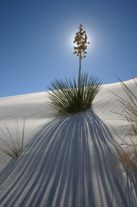 "Back-lit Yucca - Often a great image combines several different compositional guidelines. Here, the yucca flower is directly back-lit by the sun at the intersection of the ""thirds"" while the shadows create a great lead-in line. (Canon Digital Rebel w/ 18-55mm @ 18mm, 1/100th sec @ f/9, ISO 100)"